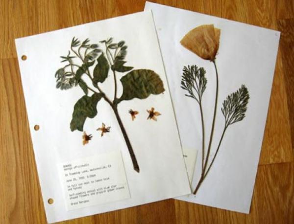 Как правильно сделать гербарий из растений фото