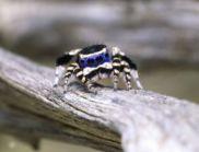 Най-очарователният паяк в света (ВИДЕО)