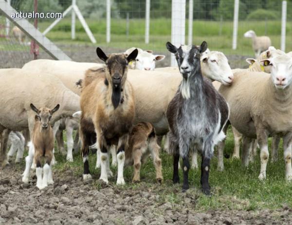 Опозицията в Турция пита дали внесените от България овце са заразени