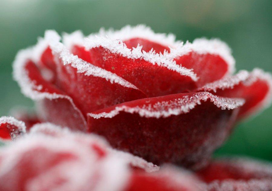 Как замръзват розите