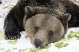 Всички мечки в парка край Белица спят зимен сън