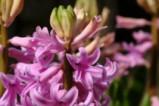 И замириса на пролет