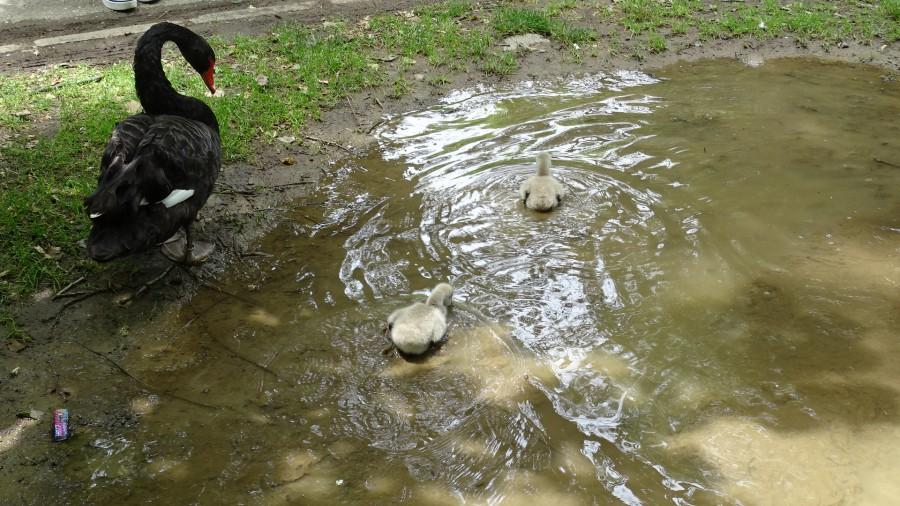 Двойка черни лебеди зарадва Благоевград с потомство