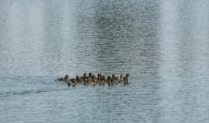 """В езерото в ж.к. """"Дружба"""" бяха пуснати около 100 полудиви патици"""