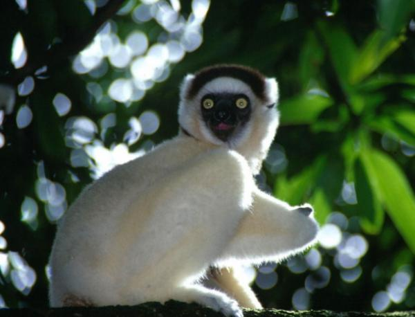 photo of В Мадагаскар откриха непознат вид лемур