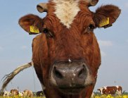Антибиотици за крави вредят на околната среда