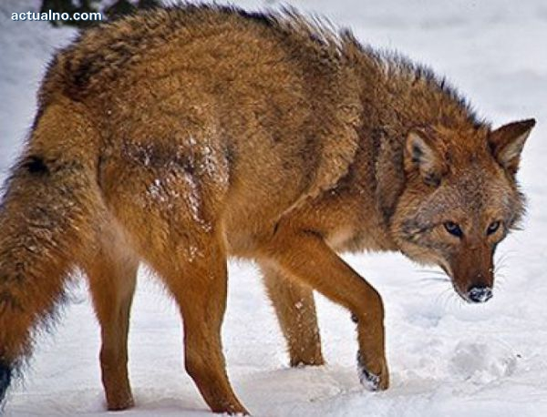photo of Мелез между вълк, койот и куче превзема САЩ