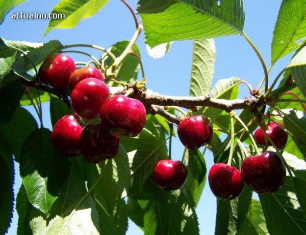 photo of Ниските температури ще намалят овощната реколта