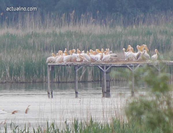 """photo of Първата група къдроглави пеликани бе забелязана над """"Сребърна"""""""