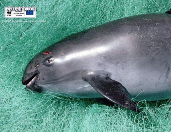 photo of WWF: Последните 30 екземпляра от най-редките морски бозайници трябва да бъдат спасени сега