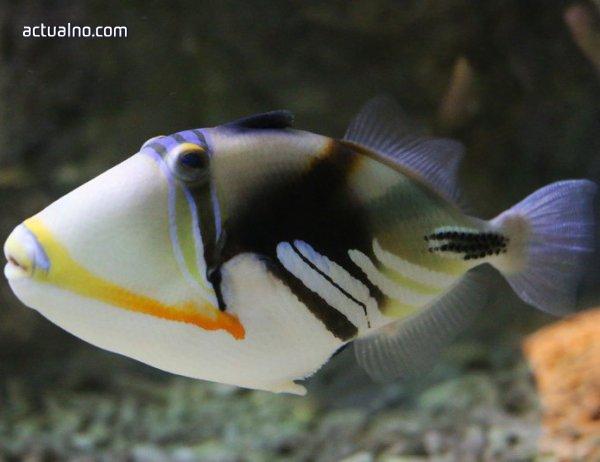 """photo of """"Морско казино"""" в Бургас представя една от най-красивите риби в света"""