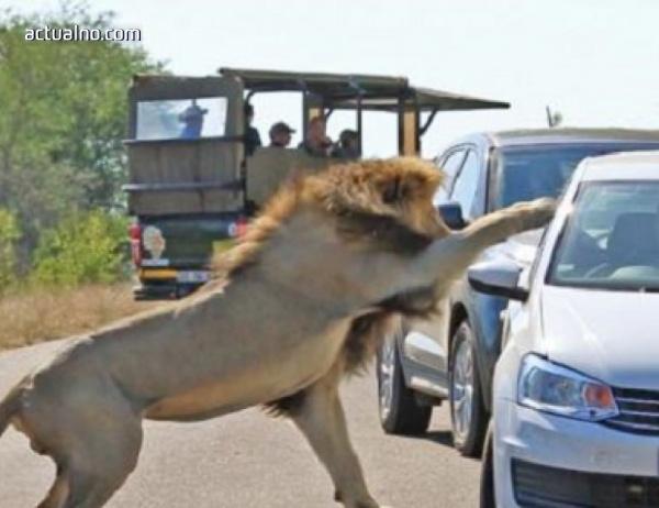 photo of Лъв напада автомобил пред погледа на изумени туристи (ВИДЕО)