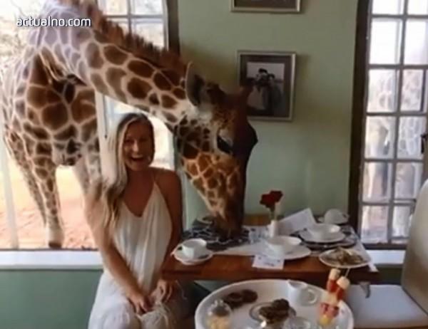 photo of Ето така се храни жираф (ВИДЕО)
