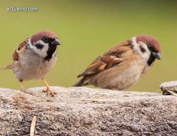 photo of Започва ново преброяване на врабчетата