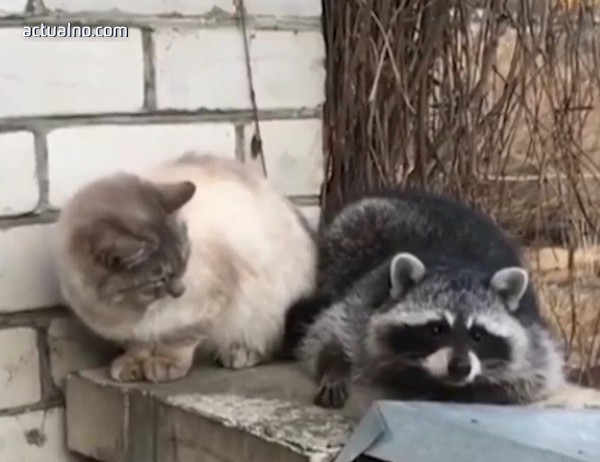 photo of Възможно ли е приятелство между котка и енот? (ВИДЕО)