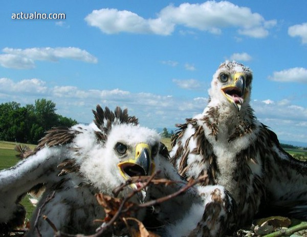 photo of 24 малки царски орлета излетяха успешно от гнездата си тази година